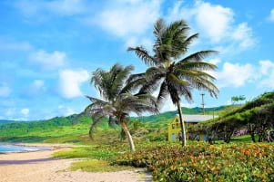 Wonderful pic of twin Palm Trees in Bathsheba