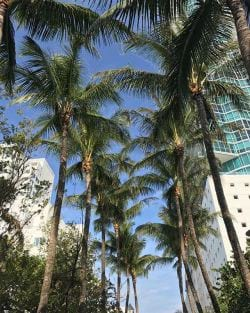 A photo of Miami Beach Coconut Palm trees.