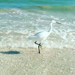 A photo of a Snowy Egret feeding on Sanibel Island.