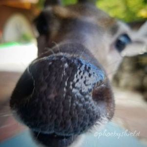 The deer are nosey in Big Pine Key