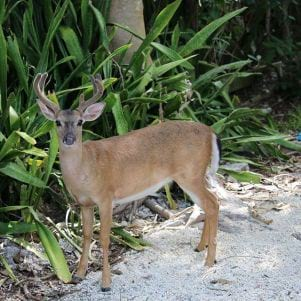 Healthy young Buck on Big Pine Key Florida Keys