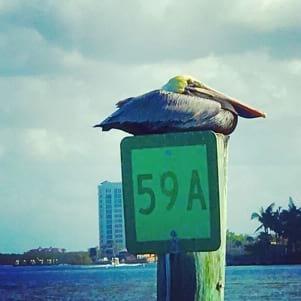 Ft Myers Beach pelican enjoying the good life.
