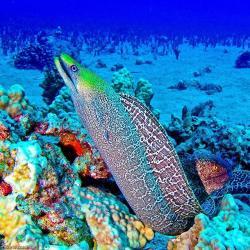 A beautiful underwater shot of an eel in Hawaii