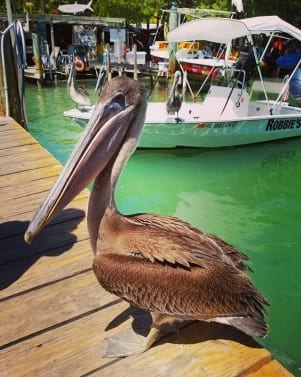 Hanging out with Pelicans