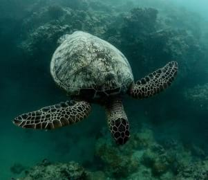 This turtle in Oahu Hawaii is beautiful and majestic.