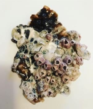 A collection of barnacles on Sanibel Island